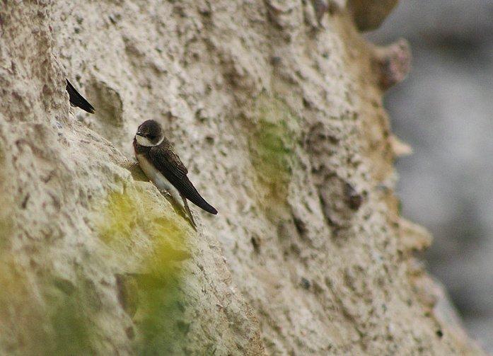 Découvrez notre article sur l'hirondelle de rivage dans le Bird-Blog d'Une histoire de plumes