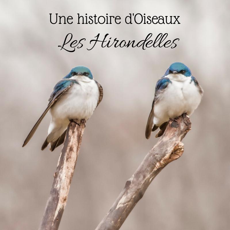 Découvrez la famille des hirondelles grâce au nouvel article du Bird-Blog d'Une histoire de plumes