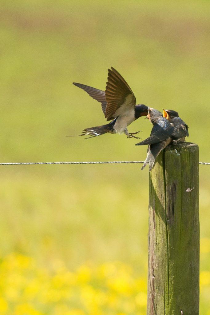 Découvrez notre article sur l'hirondelle rustique dans le Bird-Blog d'Une histoire de plumes