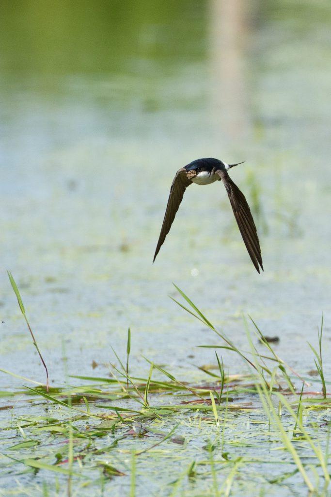 Découvrez notre article sur les hirondelles dans le Bird-Blog d'Une histoire de plumes