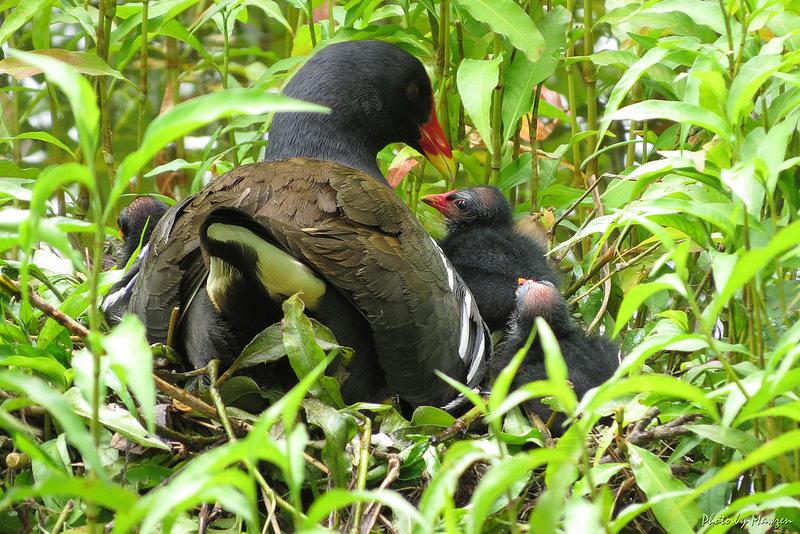 La poule d'eau et ses petits, un oiseau à découvrir dans le nouvel article de notre série de l'été du Bird-Blog d'Une histoire de plumes