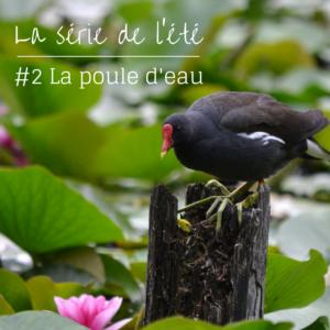 Nouvel article du bird-blog d'une histoire de plumes: découvrez la poule d'eau