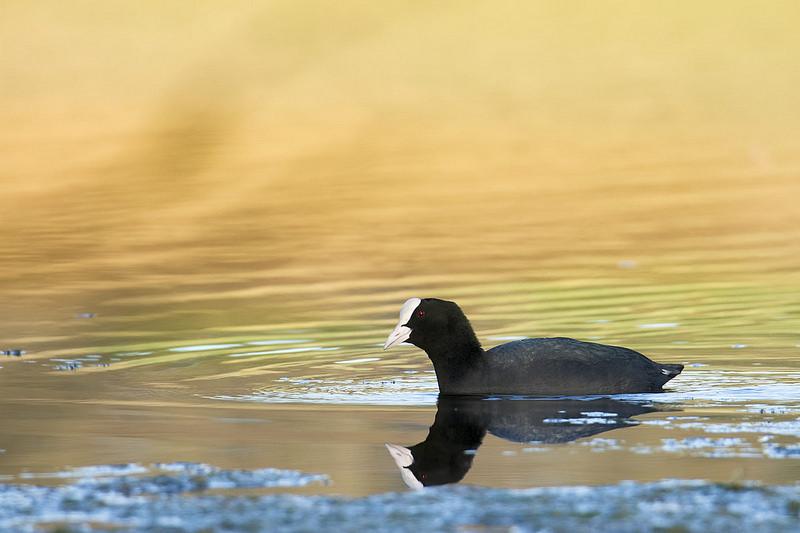 La foulque macroule, à ne pas confondre avec la poule d'eau, sujet du dernier article du Bird-Blog d'une histoire de plumes