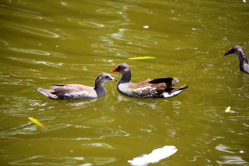 La poule d'eau, un oiseau à découvrir dans le nouvel article de notre série de l'été du Bird-Blog d'Une histoire de plumes