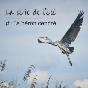 Le héron cendré, un oiseau à découvrir dans le nouvel article du Bird-Blog d'une histoire de plumes