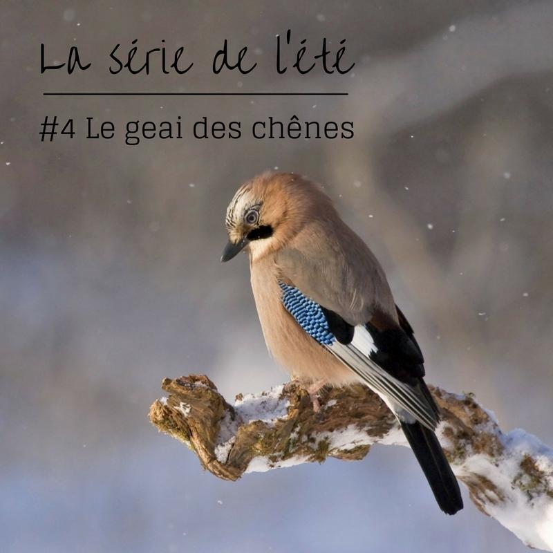 Nouvel article du bird-blog d'une histoire de plumes: découvrez le geai des chênes