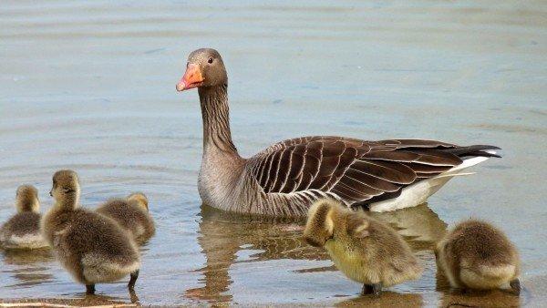 focus sur l'oie cendrée, à découvrir dans le bird-blog d'une histoire de plumes