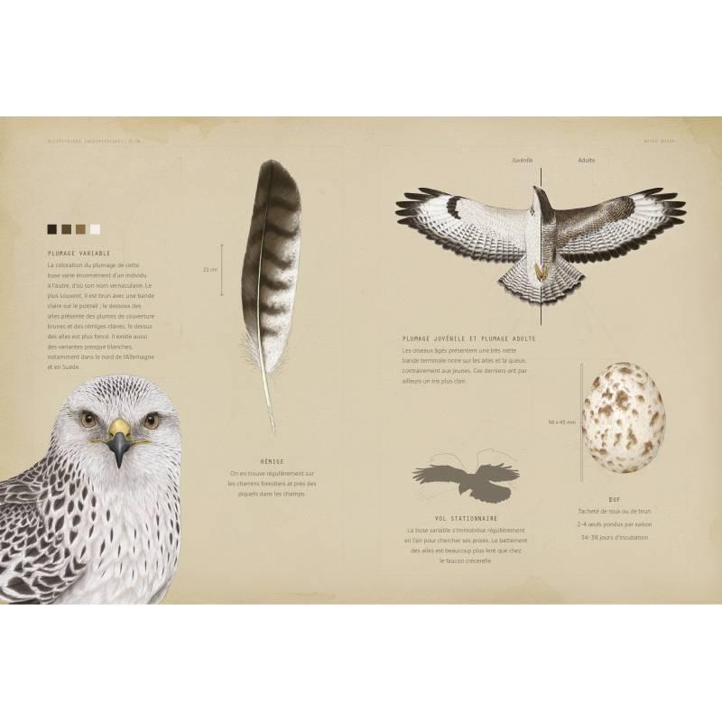 """Exemple d'illustration du livre Rapaces diurnes et nocturnes d'europe de chez artémis, un article """"une histoire de livres"""" d'une histoire de plumes"""