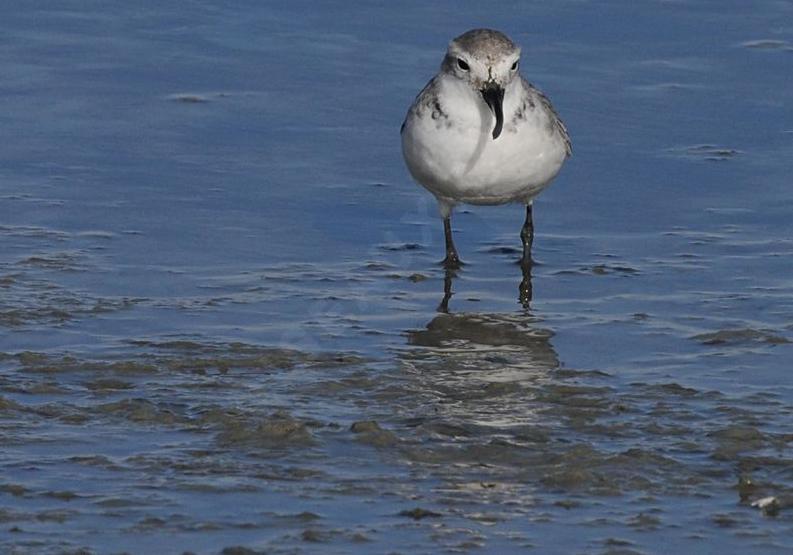 Le Pluvier anarhynque, un oiseau effrayant de notre article du bird-blog d'une histoire de plumes
