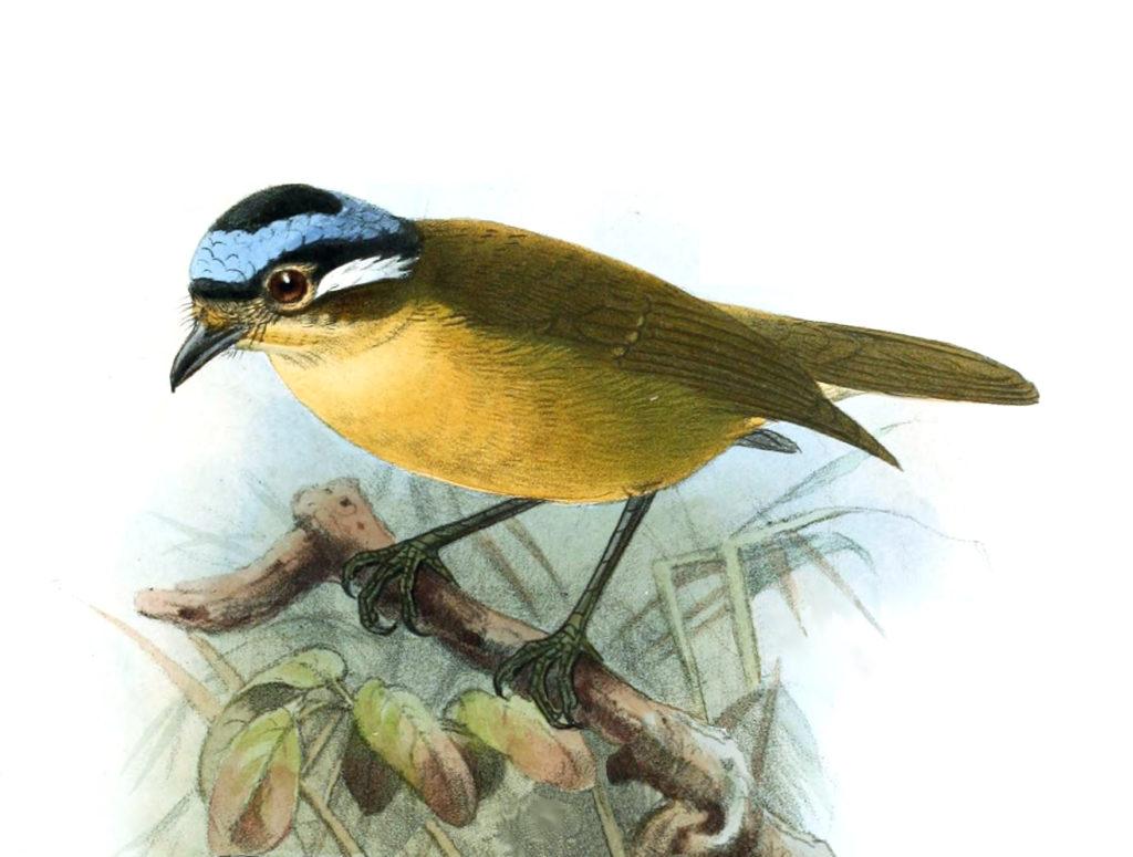 L'Ifrita de Kowald, un oiseau effrayant de notre article du bird-blog d'une histoire de plumes