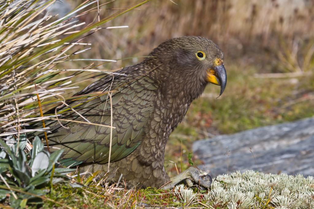 le nestor kéa, un oiseau effrayant de notre article du bird-blog d'une histoire de plumes