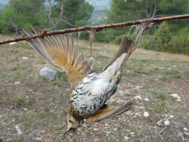 la chasse à la glu, une des chasses traditionnelles évoquées dans le nouvel article d'une histoire de plumes