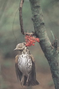 la tenderie aux grives, une des chasses traditionnelles évoquées dans le nouvel article d'une histoire de plumes