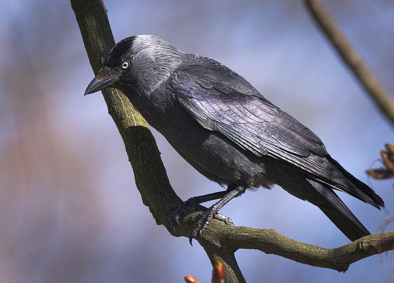 Le choucas des tours, l'un des corvidés du nouvel article du Bird-Blog d'une histoire de plumes
