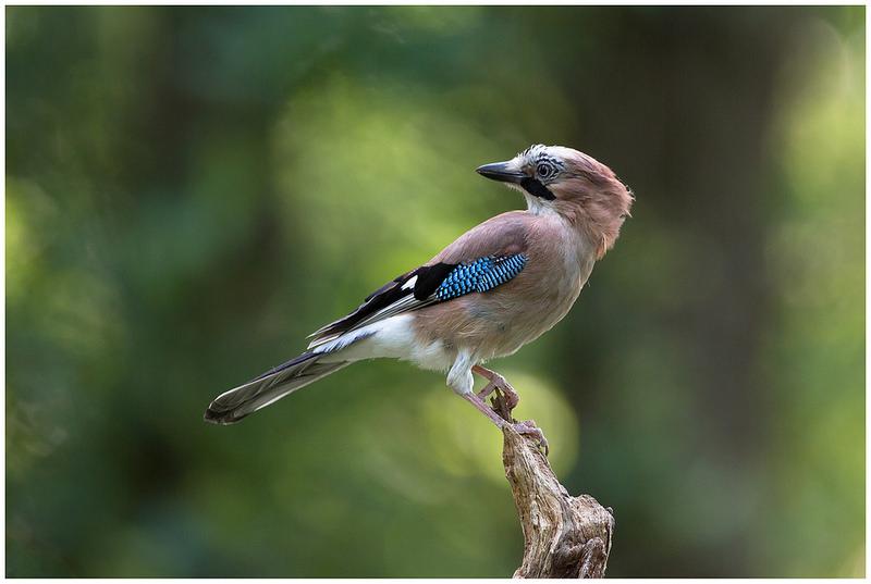 Le geai des chênes, l'un des corvidés du nouvel article du Bird-Blog d'une histoire de plumes