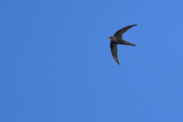 le martinet noir, sujet du dernier article du Bird-Blog d'Une histoire de plumes