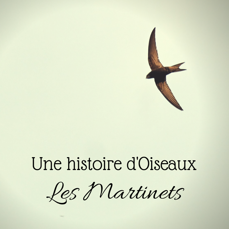 Découvrez les martinets dans le nouvel article du Bird-Blog d'une histoire de plumes