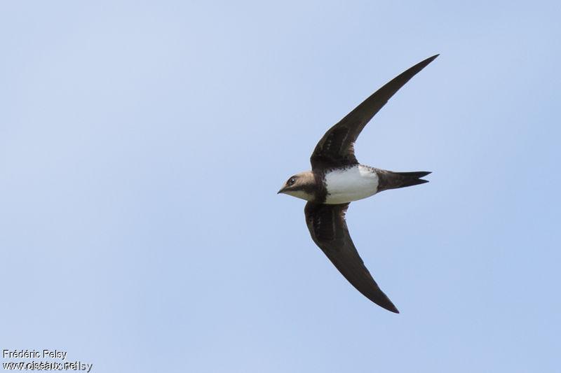 le martinet à ventre blanc, sujet du dernier article du Bird-Blog d'Une histoire de plumes