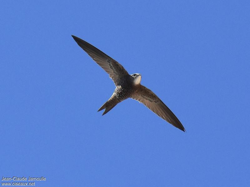 le martinet pâle, sujet du dernier article du Bird-Blog d'Une histoire de plumes
