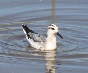 Le phalarope à bec large, l'un des 4 oiseaux rares à observer en migration, le nouvel article du Bird-Blog d'Une histoire de plumes