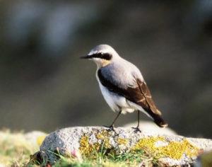 le traquet motteux, l'un des 4 oiseaux rares à observer en migration, le nouvel article du Bird-Blog d'Une histoire de plumes