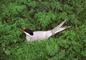 La sterne arctique,, l'un des 4 oiseaux rares à observer en migration, le nouvel article du Bird-Blog d'Une histoire de plumes