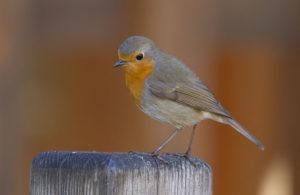 Une histoire d'oiseaux, le rougegorge et ses cousins, un nouvel article du birdblog d'Une histoire de plumes