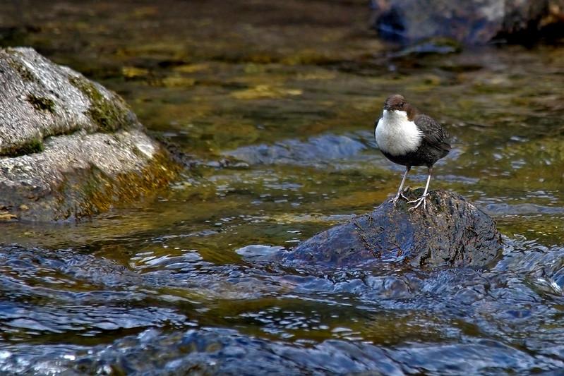 Le Cincle plongeur, l'un des 5 oiseaux à observer en montagne - le birdblog d'une histoire de plumes