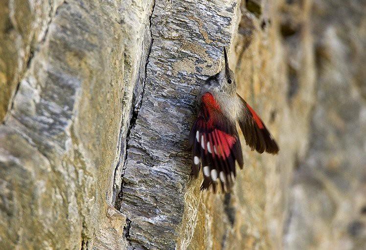 Le tichodrome échelette, l'un des 5 oiseaux à observer en montagne - le birdblog d'une histoire de plumes