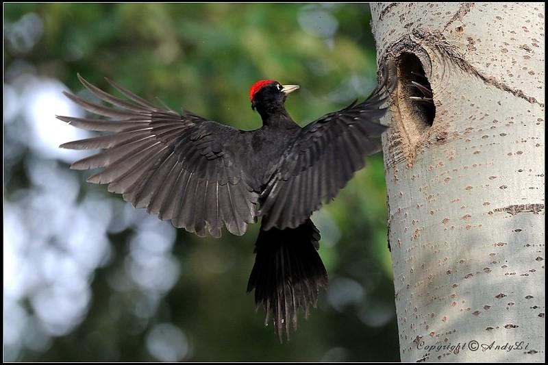 Le Pic noir, l'un des 5 oiseaux à observer en montagne - le birdblog d'une histoire de plumes