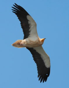 Le vautour percnoptère, un des 5 oiseaux à observer en montagne - le birdblog d'une histoire de plumes