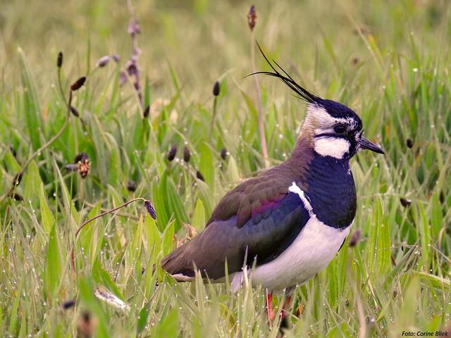 Le Vanneau huppé, l'un des 5 oiseaux à observer à la campagne - le birdblog d'une histoire de plumes