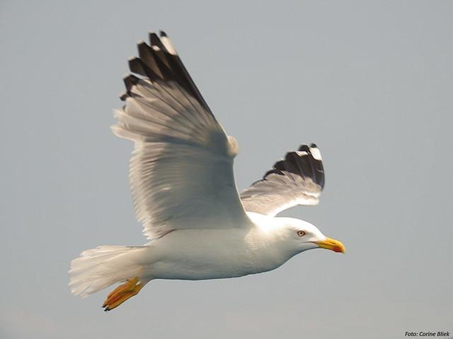 Le Goéland leucophée, l'un des 5 oiseaux à observer en bord de mer - le birdblog d'une histoire de plumes