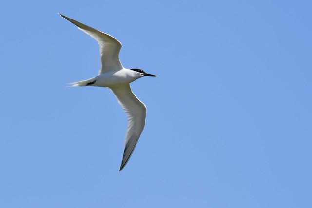 La Sterne caugek, l'un des 5 oiseaux à observer en bord de mer - le birdblog d'une histoire de plumes