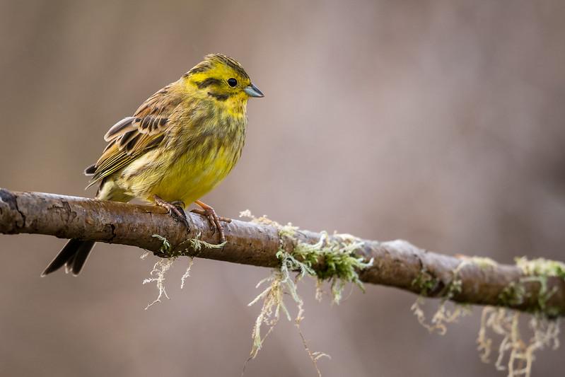 Le Bruant jaune, l'un des 5 oiseaux à observer à la campagne - le birdblog d'une histoire de plumes