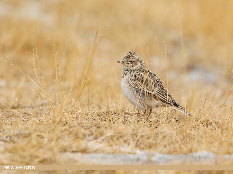 L'Alouette des champs, l'un des 5 oiseaux à observer à la campagne - le birdblog d'une histoire de plumes
