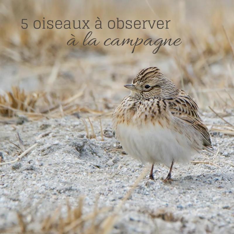 5 oiseaux à observer à la campagne, le nouvel article du Bird-Blog d'Une histoire de plumes