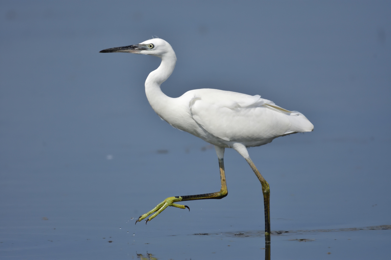 L'Aigrette garzette, l'un des 5 oiseaux à observer en bord de mer - le birdblog d'une histoire de plumes