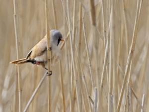 La Rémiz penduline, l'un des oiseaux présentés dans Une histoire d'Oiseaux, le nouvel article du bird-blog d'une histoire de plumes