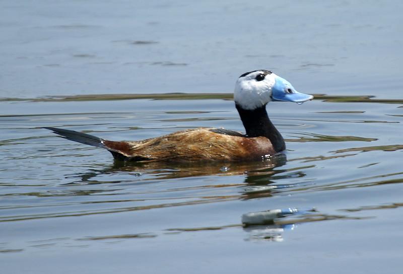L'Erismature à tête blanche, un oiseau menacé sujet du dernier article du bird-blog d'une histoire de plumes