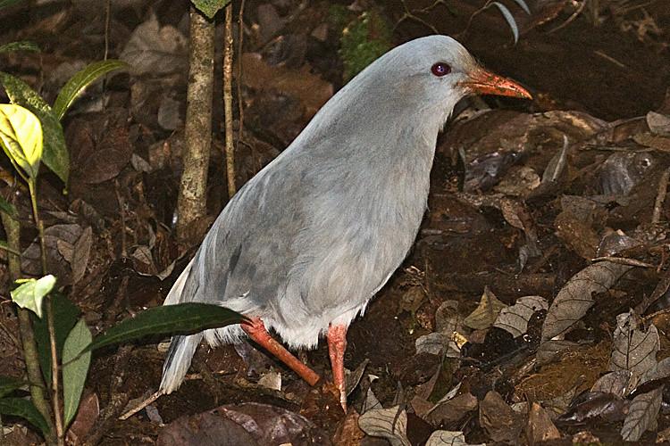 Le kagou, un oiseau menacé sujet du dernier article du bird-blog d'une histoire de plumes