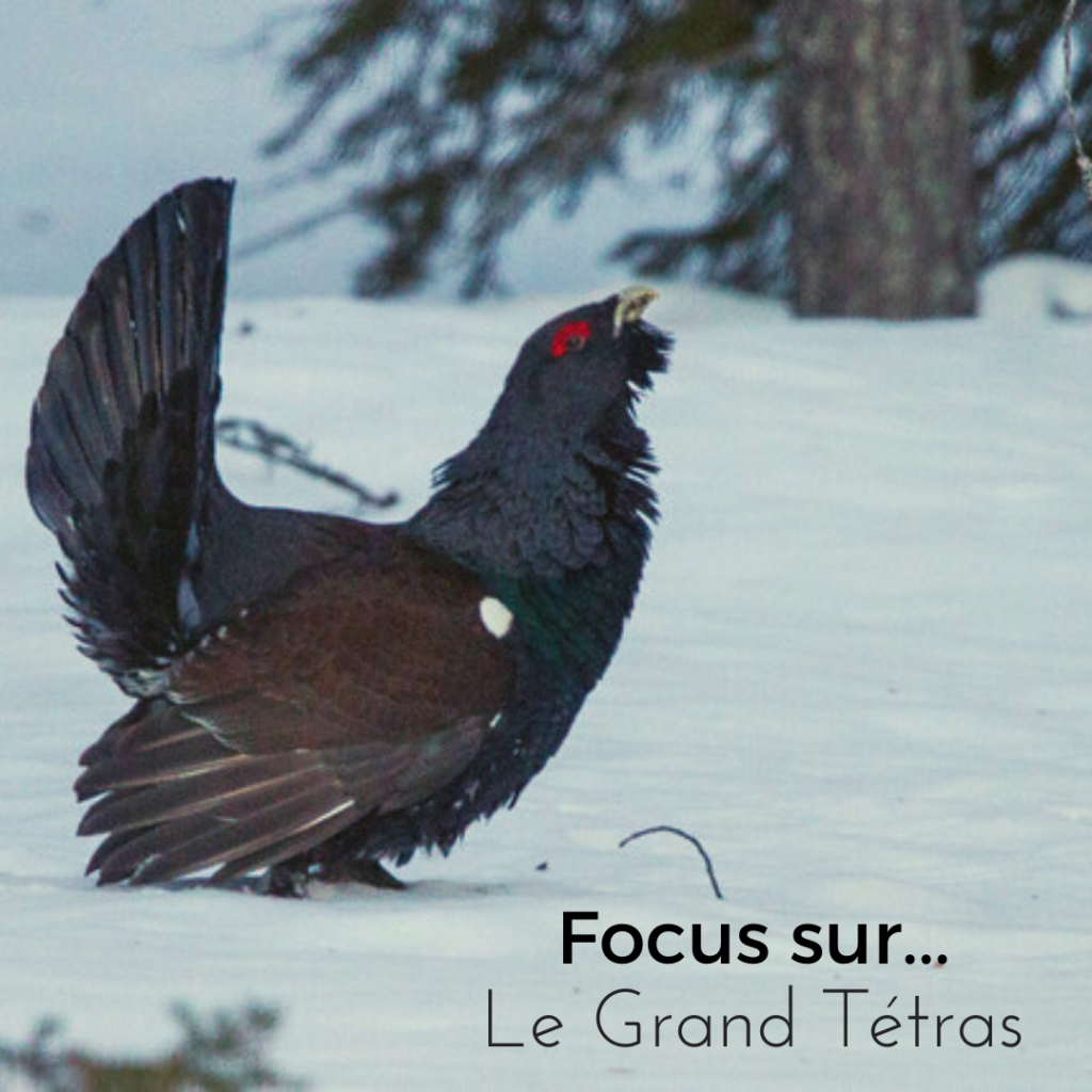 Le nouvel article du bird blog d'une histoire de plumes vous présente le grand tétras