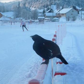 Coq mou - Le Grand Tétras - nouvel article du bird-blog d'une histoire de plumes