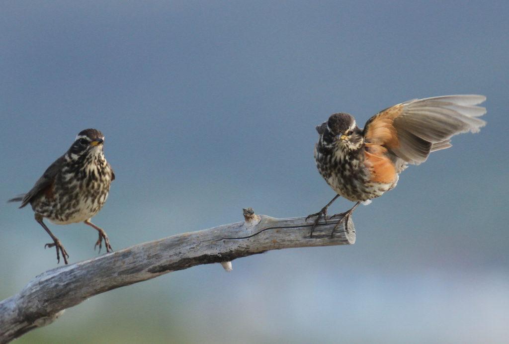 La Grive mauvis, un turdidé que l'on peut observer en hiver, sujet du nouvel article du bird-blog d'une histoire de plumes
