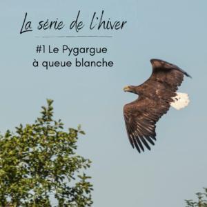 Le pygargue à queue blanche, un rapace que l'on peut observer en hiver, sujet du nouvel article du bird-blog d'une histoire de plumes
