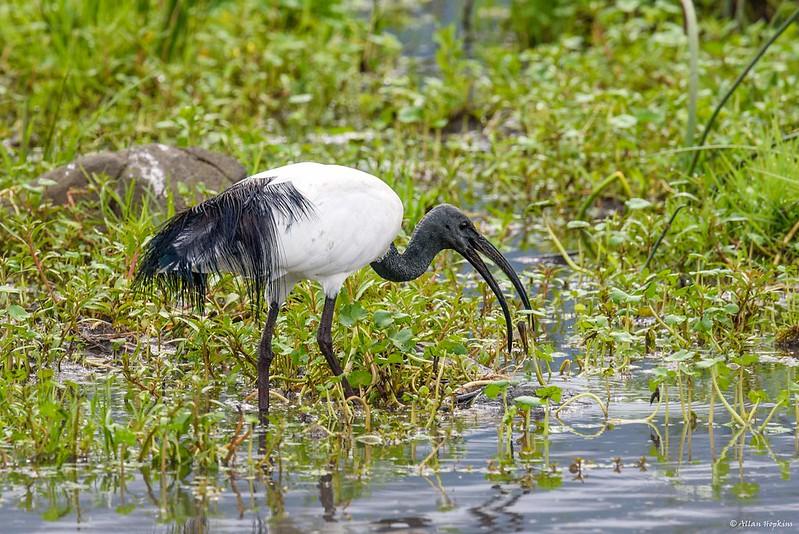 L'Ibis sacré, nouvel article du Bird-Blog d'Une histoire de plumes