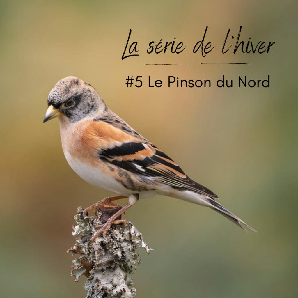 Le Pinson du Nord, un passereau que l'on peut observer en hiver, sujet du nouvel article du bird-blog d'une histoire de plumes