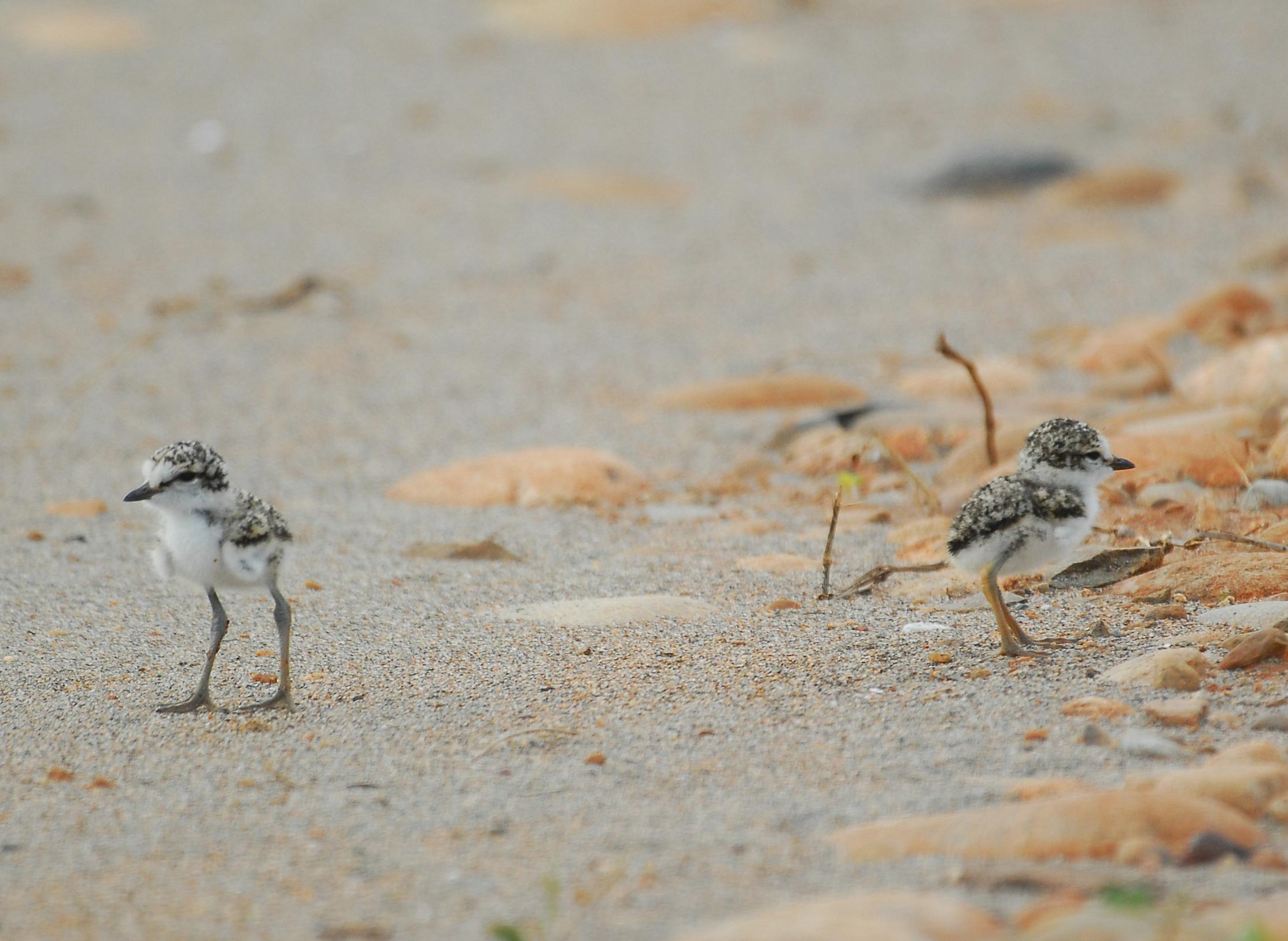 Les poussins de Gravelot à collier interrompu, sujet du nouvel article du Bird-Blog d'Une histoire de plumes