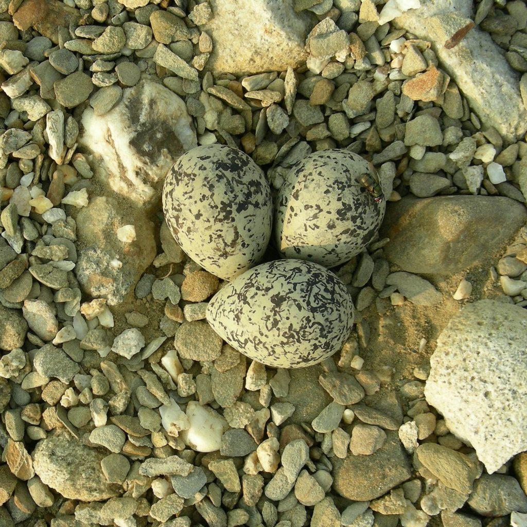 Les oeufs de Gravelot à collier interrompu, sujet du nouvel article du Bird-Blog d'Une histoire de plumes