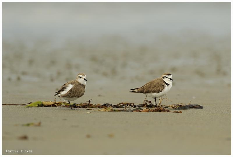 Le Gravelot à collier interrompu, sujet du nouvel article du Bird-Blog d'Une histoire de plumes